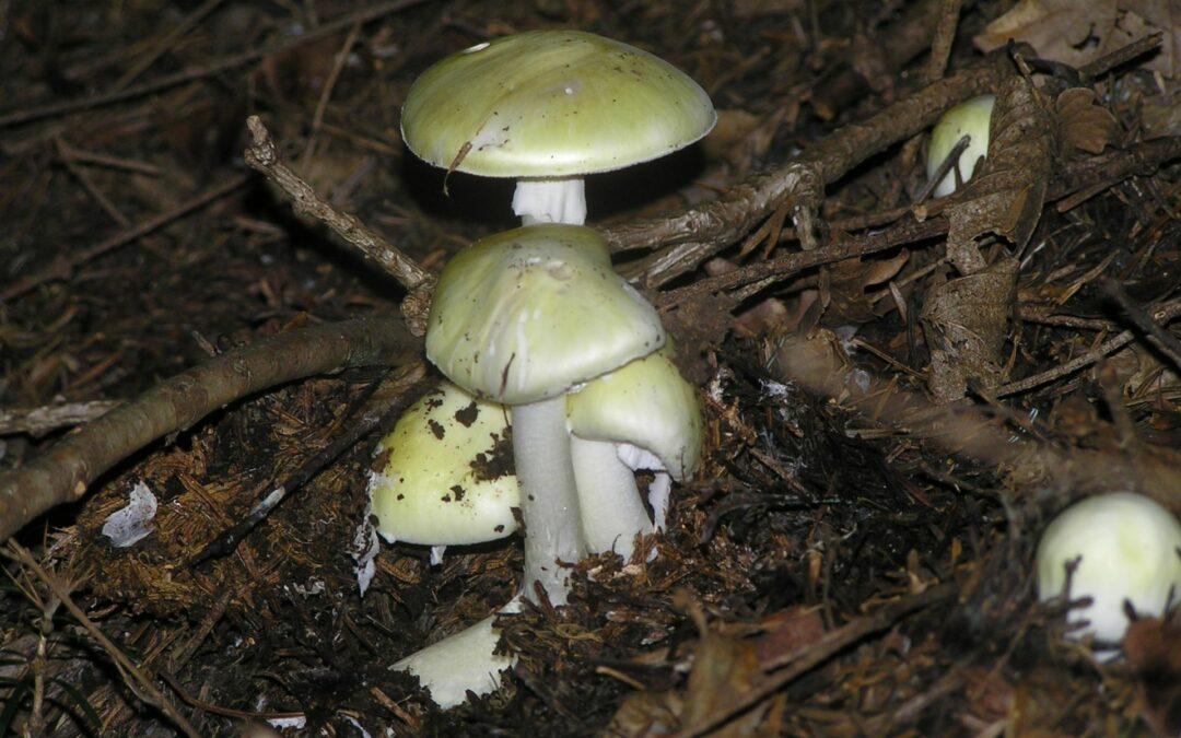 Week-end de collecte et de présentation de champignons